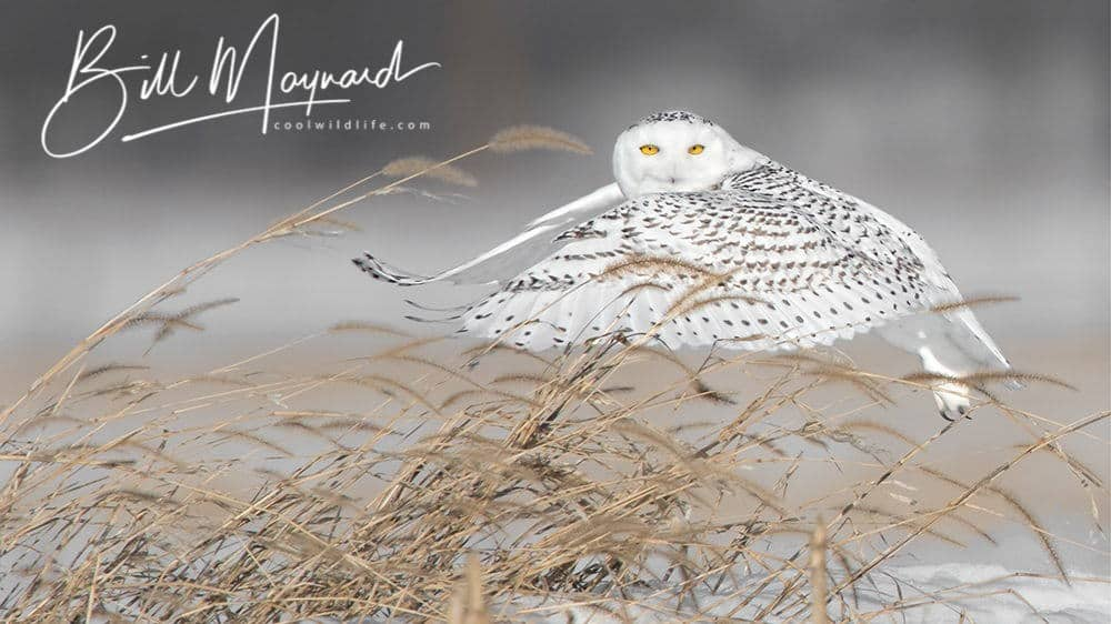 Snowy Owl With White Photologo