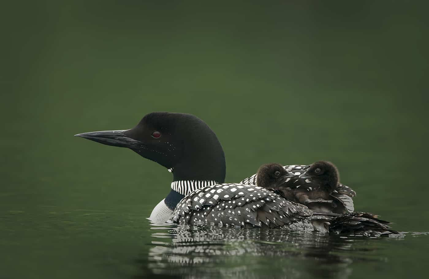 Loon Chicks Hitchin' A Ride
