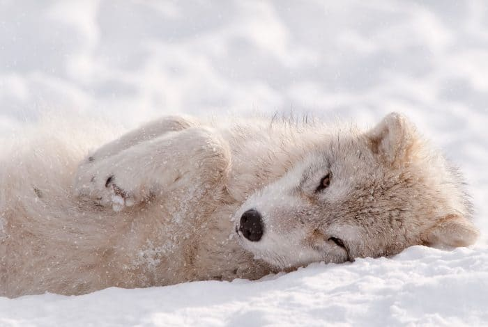 Arctic wolf pup in winter during snowfall looking as cute as can be