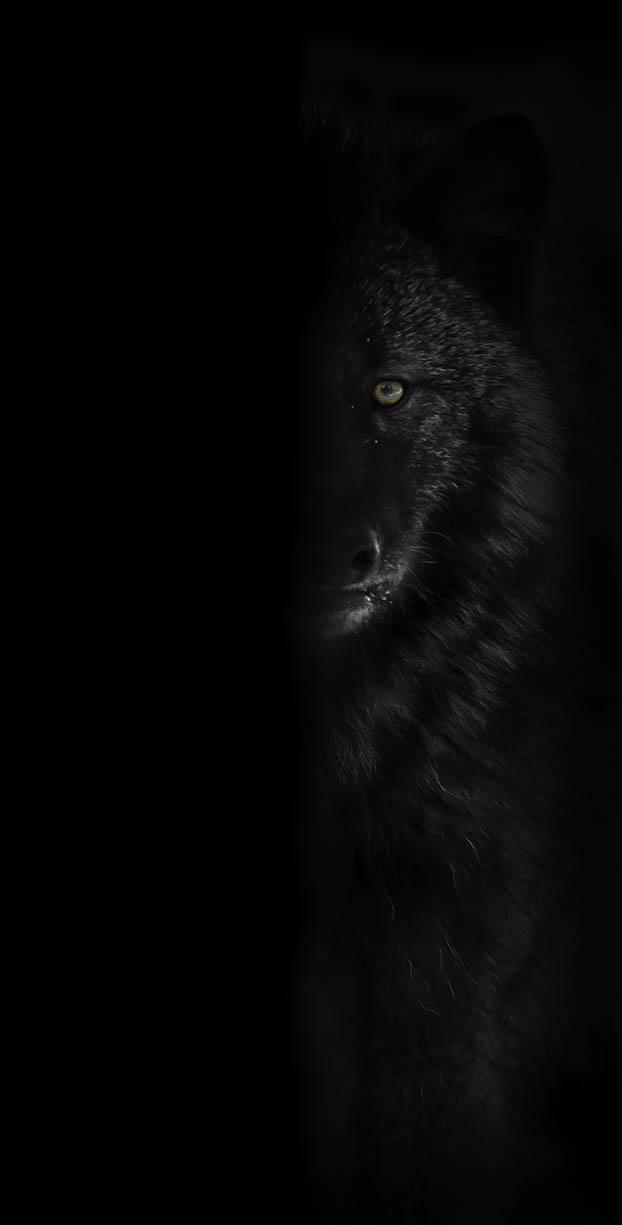 Black Wolf Behind Tree