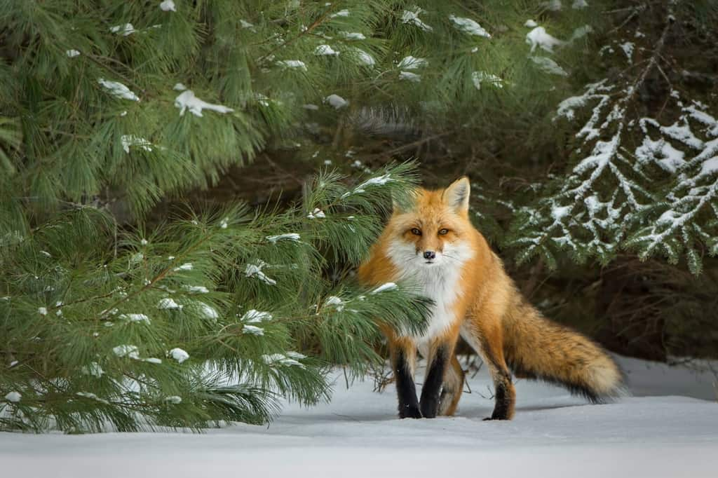 Red Fox in Pines