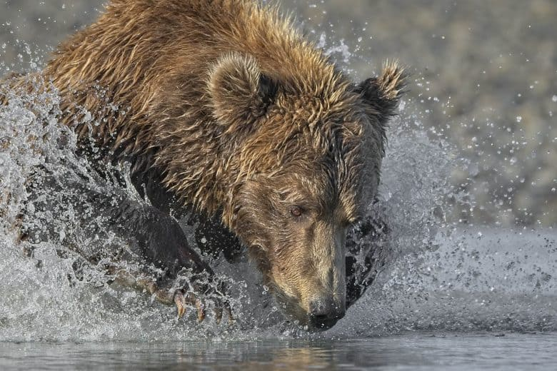 Grizzly Dive