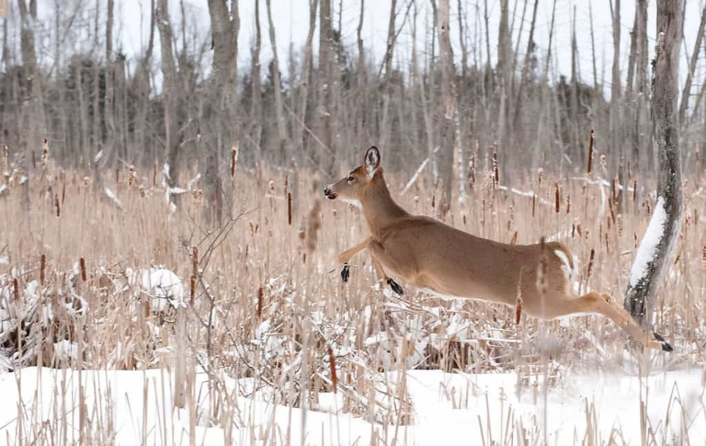 Larger White-tailed Deer