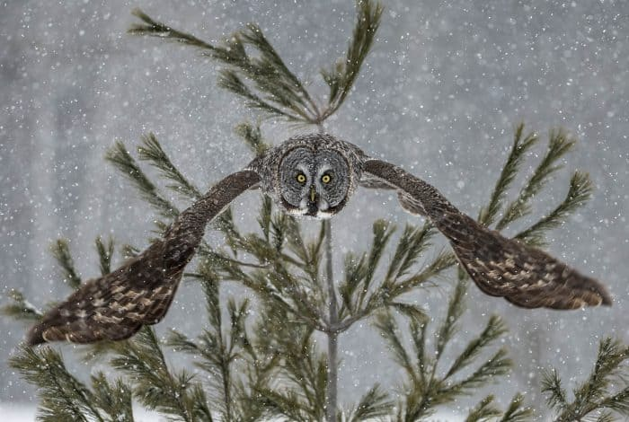 Great Grey Owl Launch