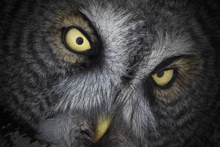 Great Grey Owl Stare Down