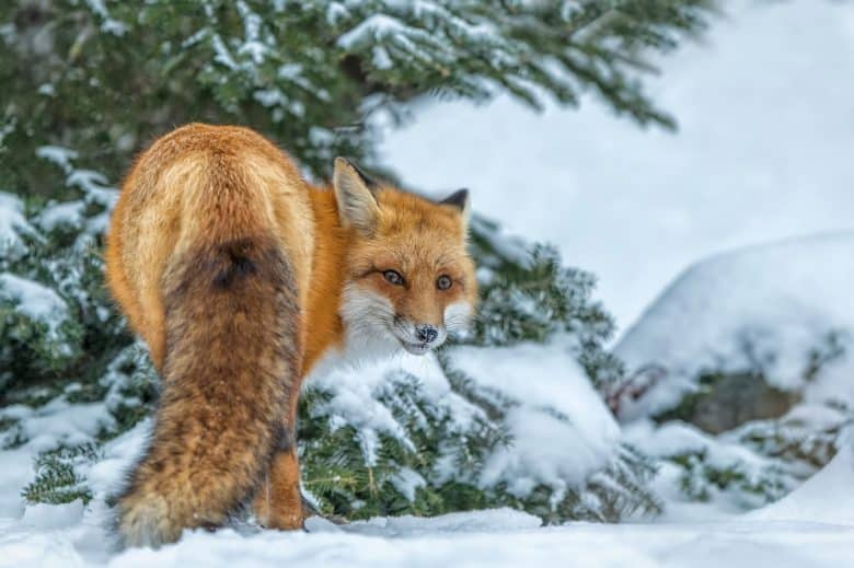 Bashful Red Fox
