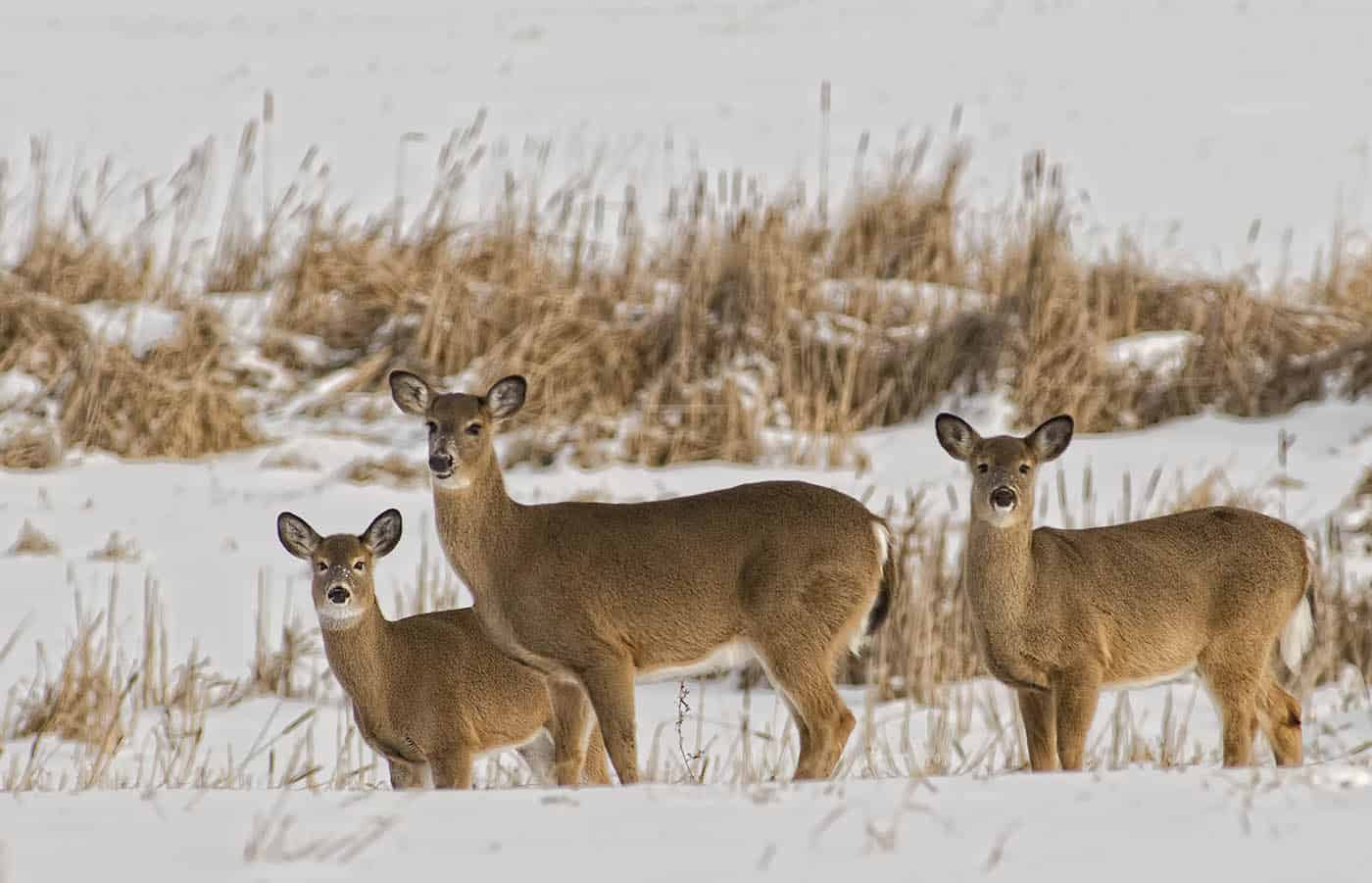 Stand Of Whitetails