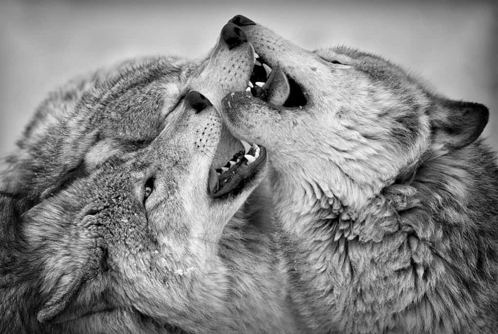 Comradery of the Timber Wolf Pack