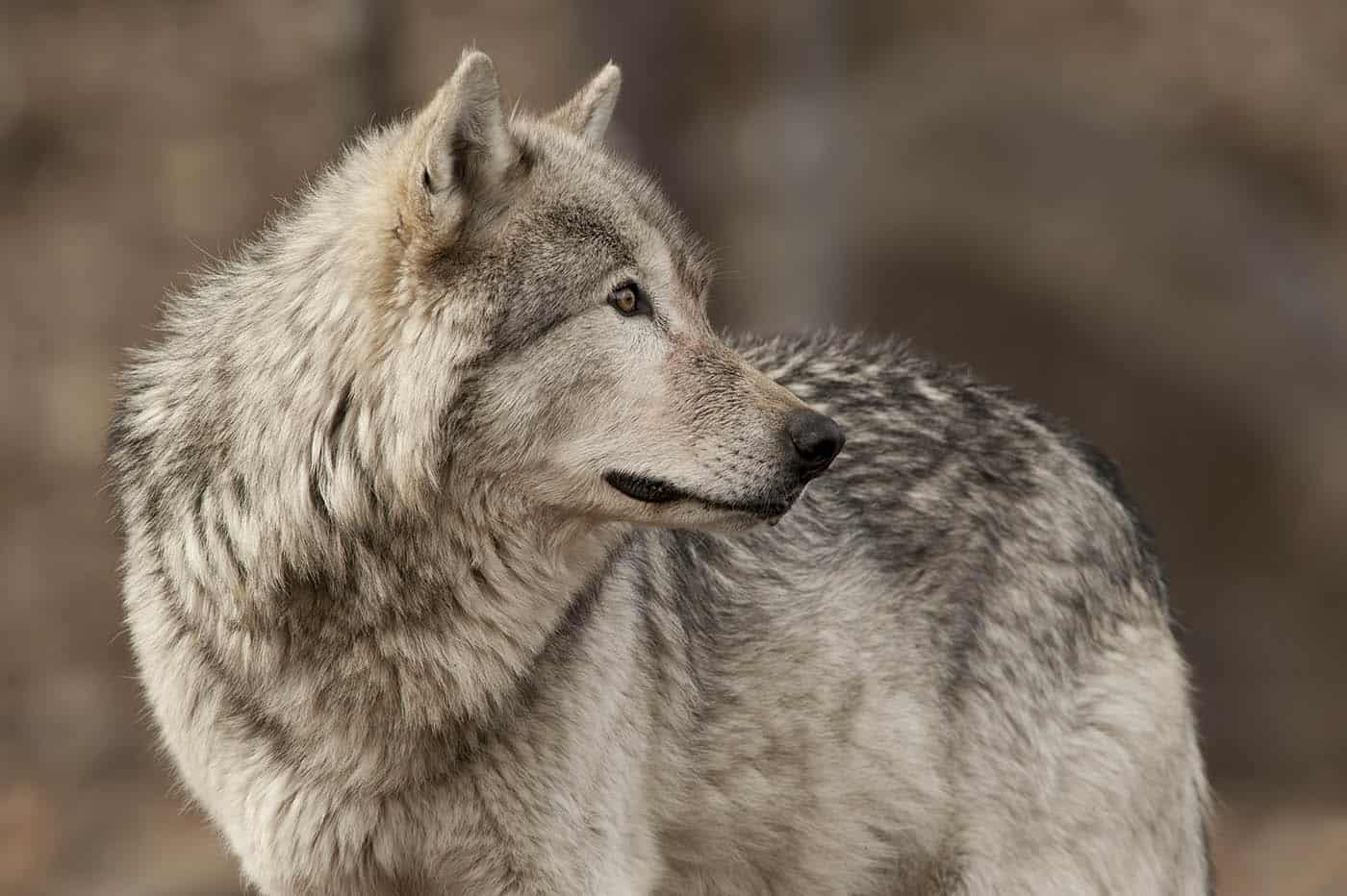 Adult Timber wolf in that classic over the shoulder pose.