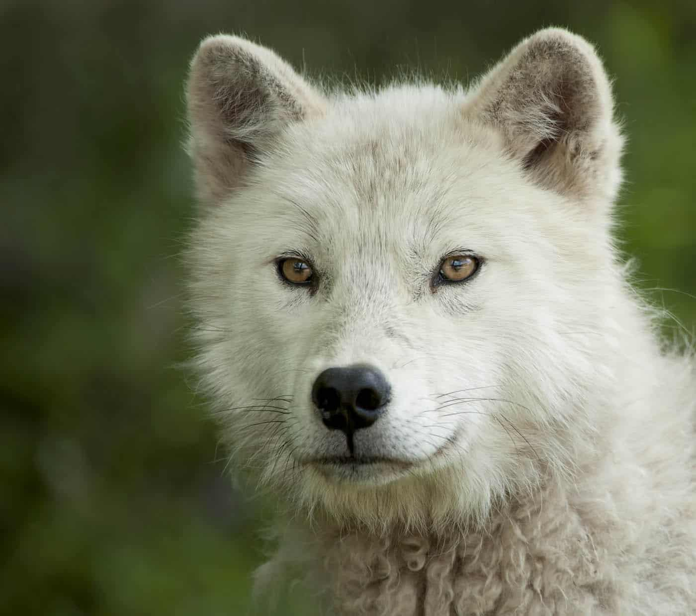 Arctic Wolf Pup beginning to take on the true attributes of an adut. I absolutely love the colour of his eyes