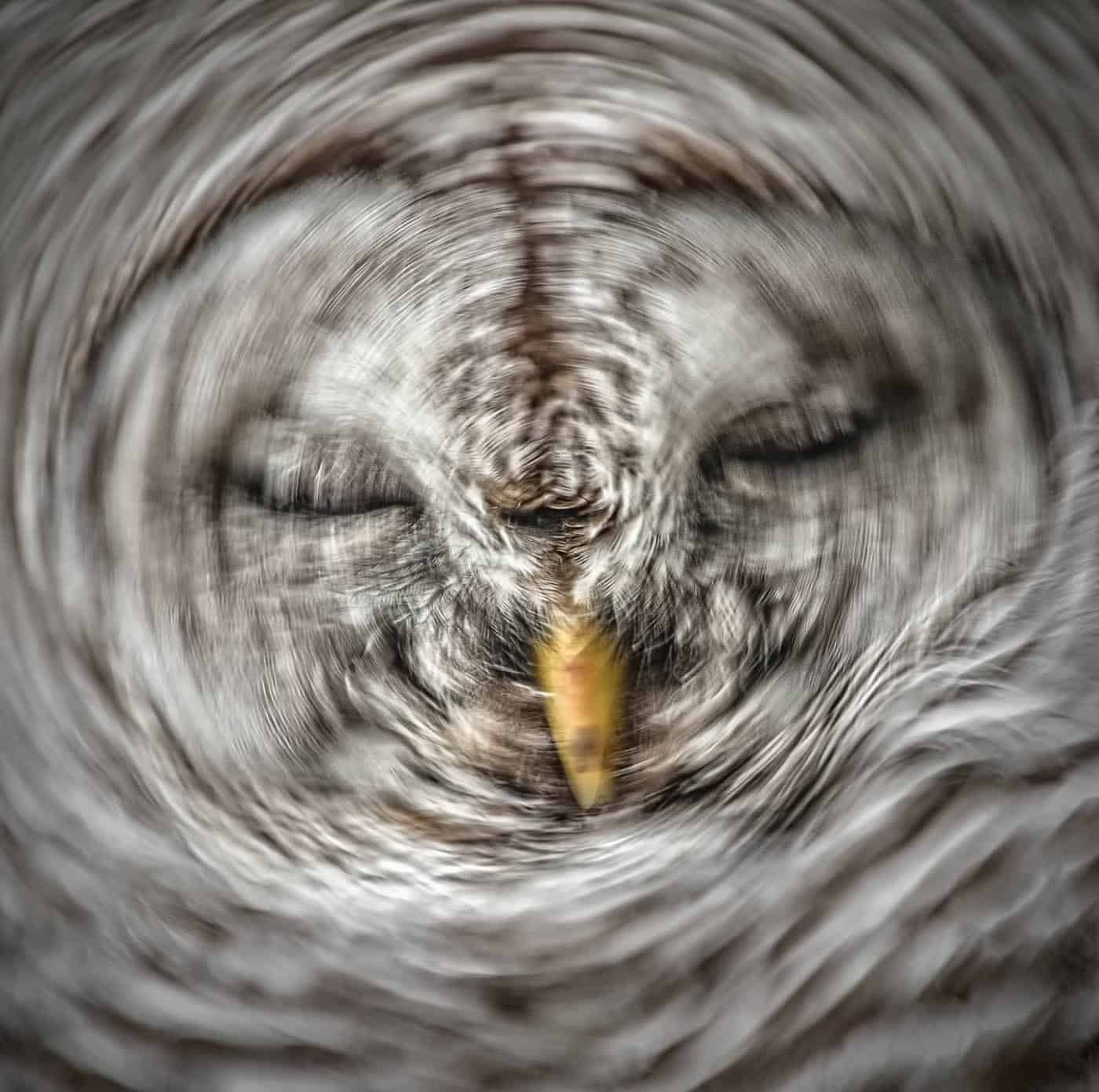 Barred Owl Head Shake