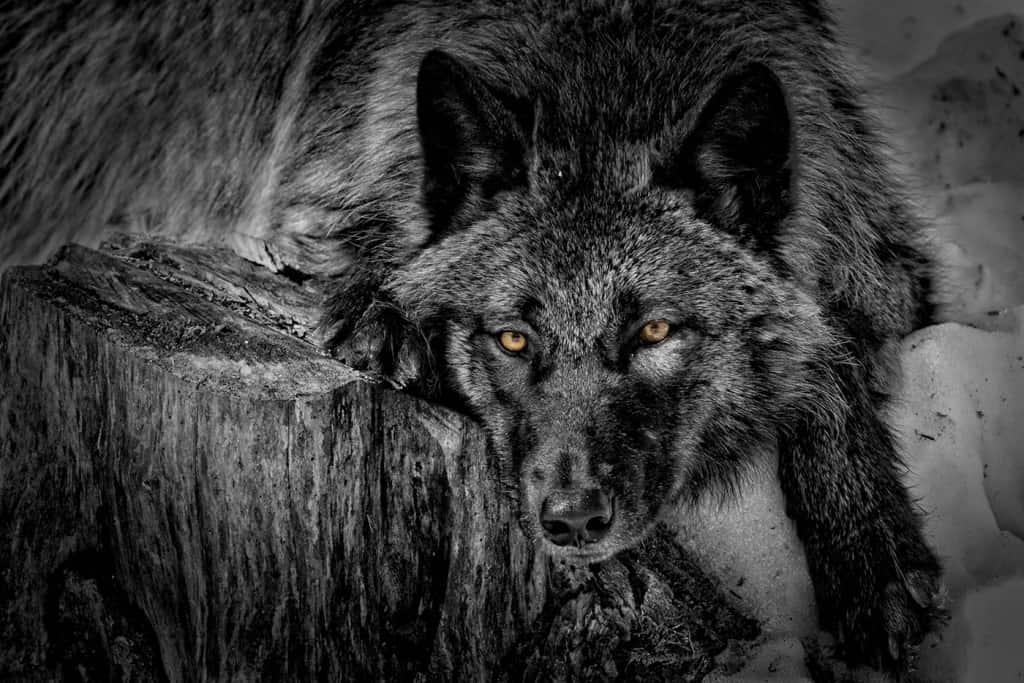 Black Wolf on Stump