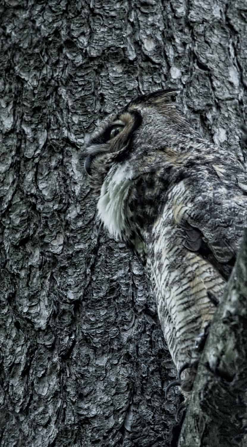 Great Horned Owl in Camo