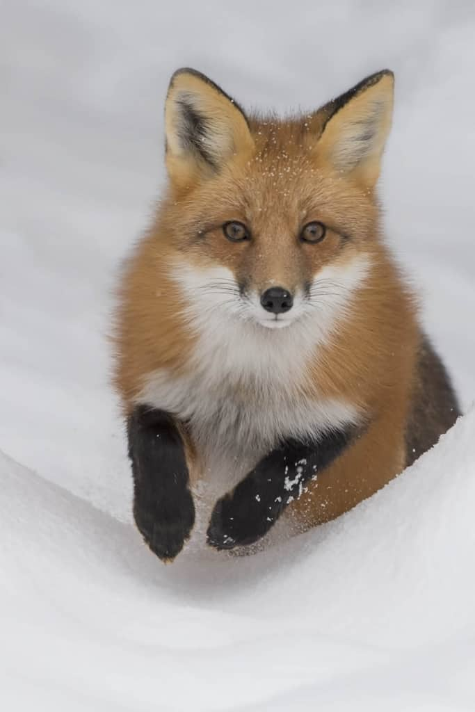 Red Fox Jumping In Snow