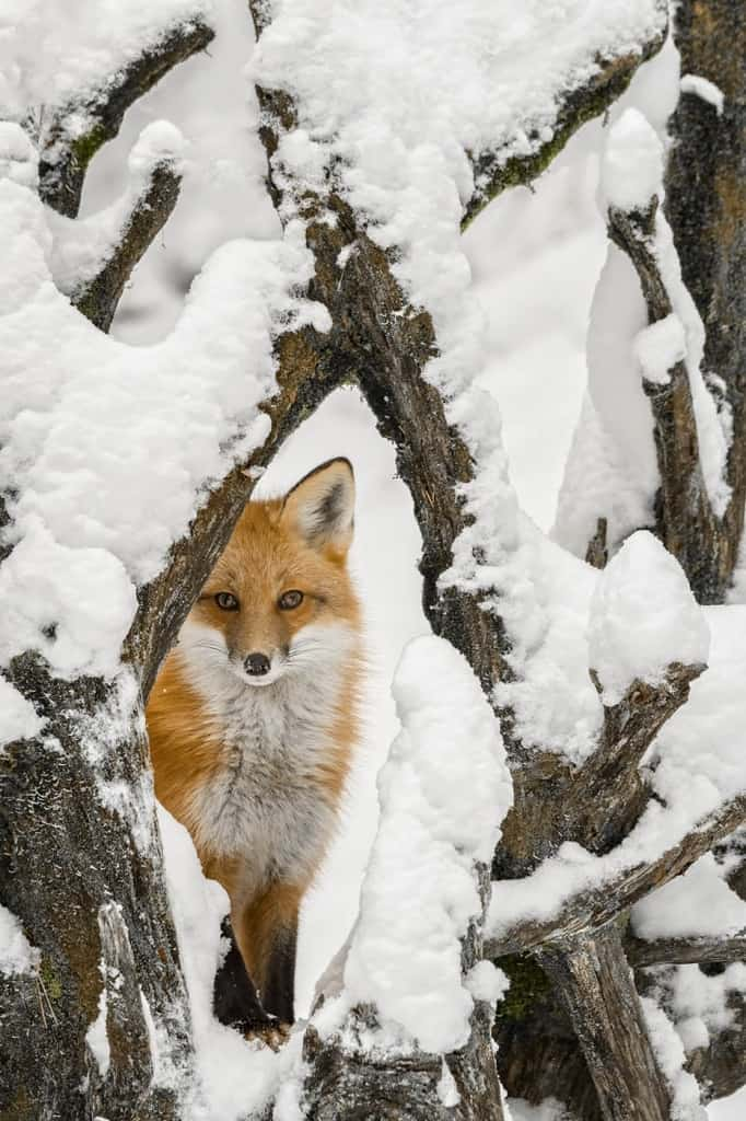 Red Fox in Snowy Root