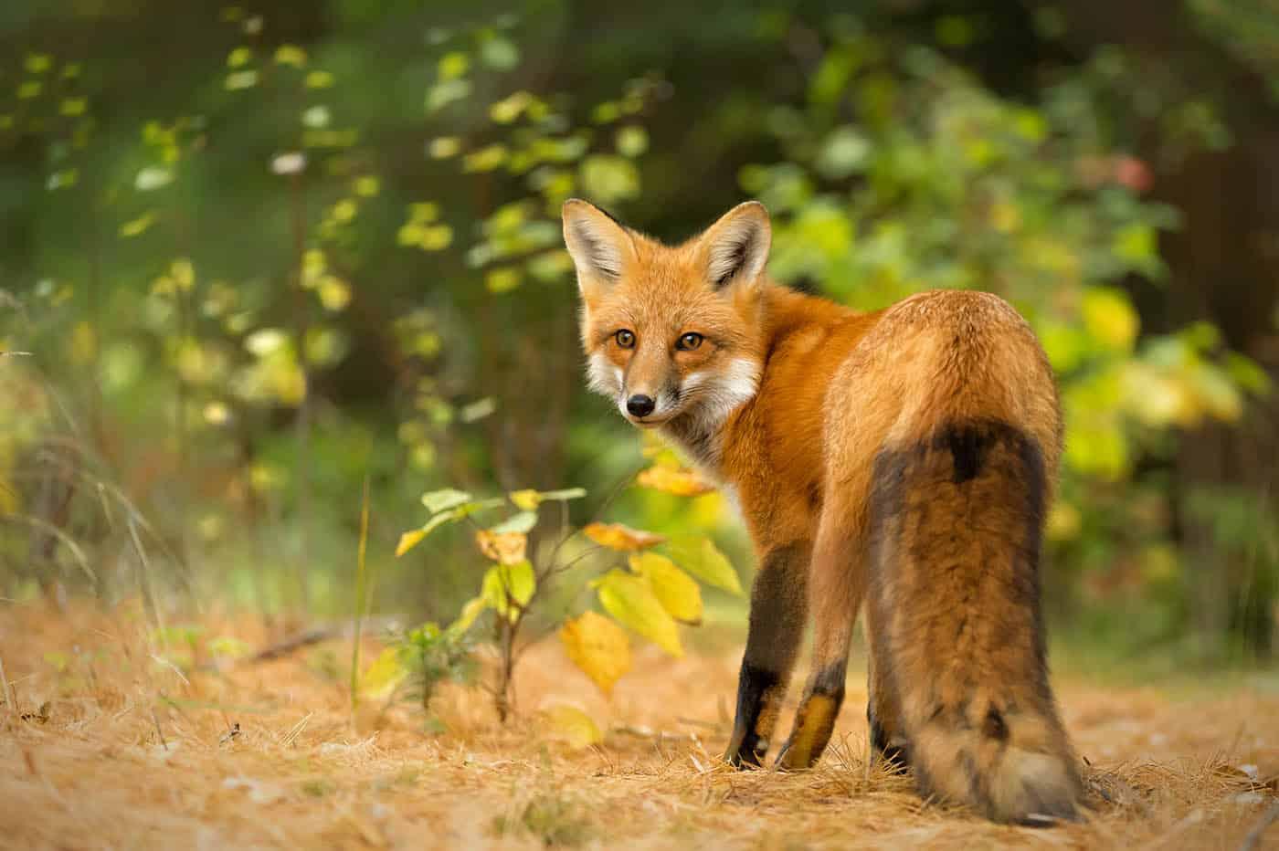 Red Fox Environmental