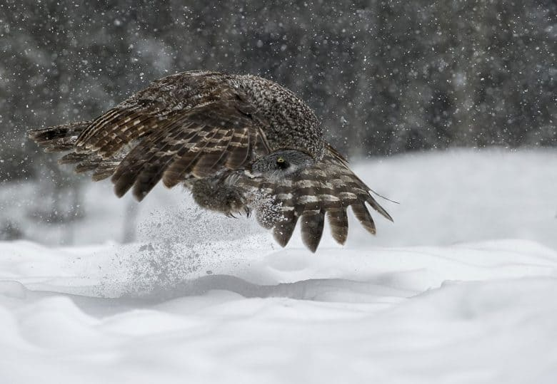 Great Grey Prey Pounce
