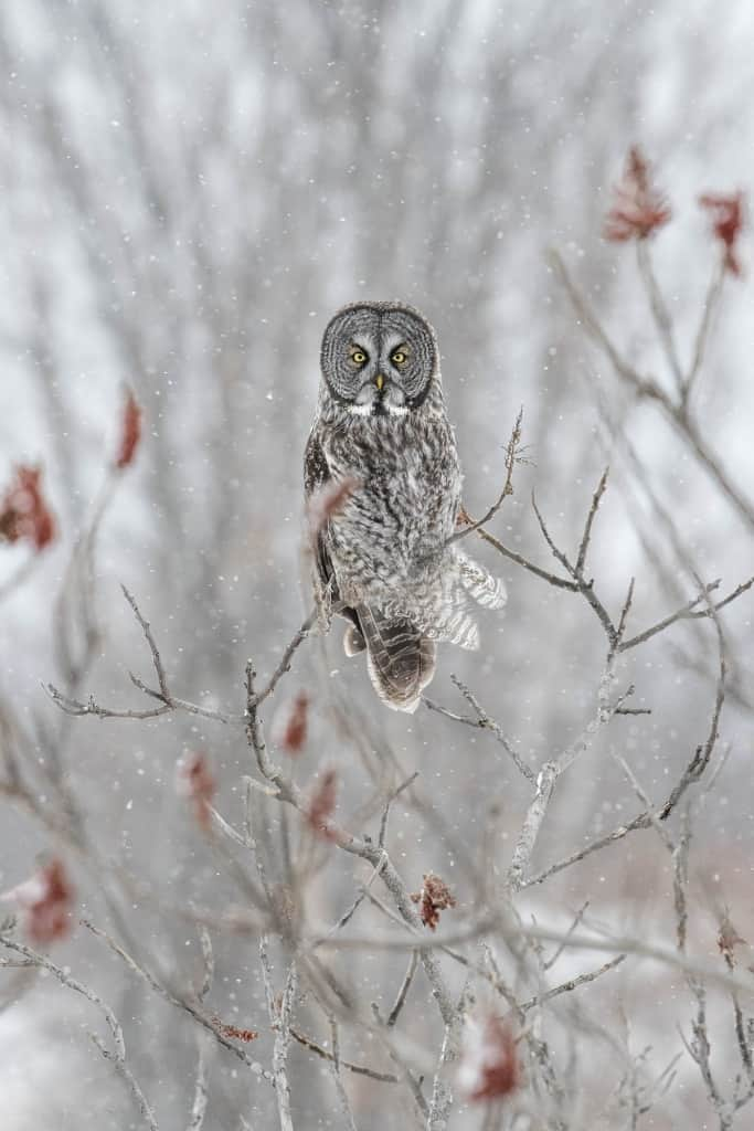 Great Grey Owl in Sumac