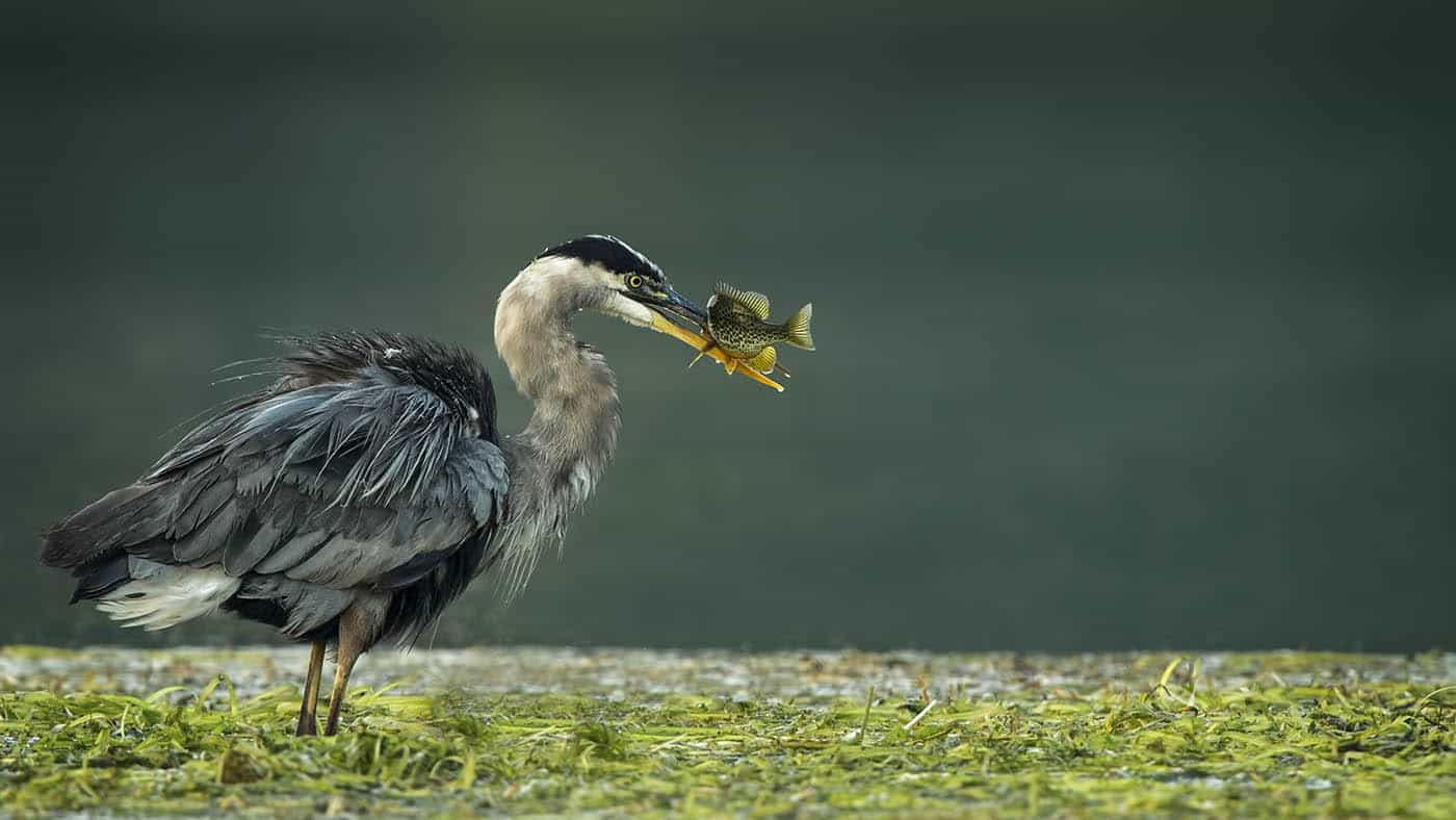 Great Blue Heron Catch of the Day