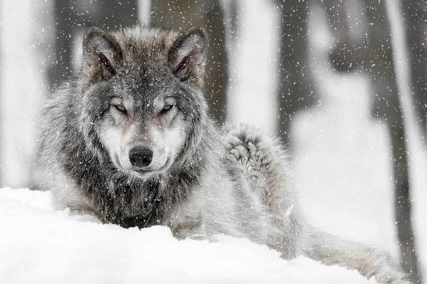 Timber Wolf Pup in snow