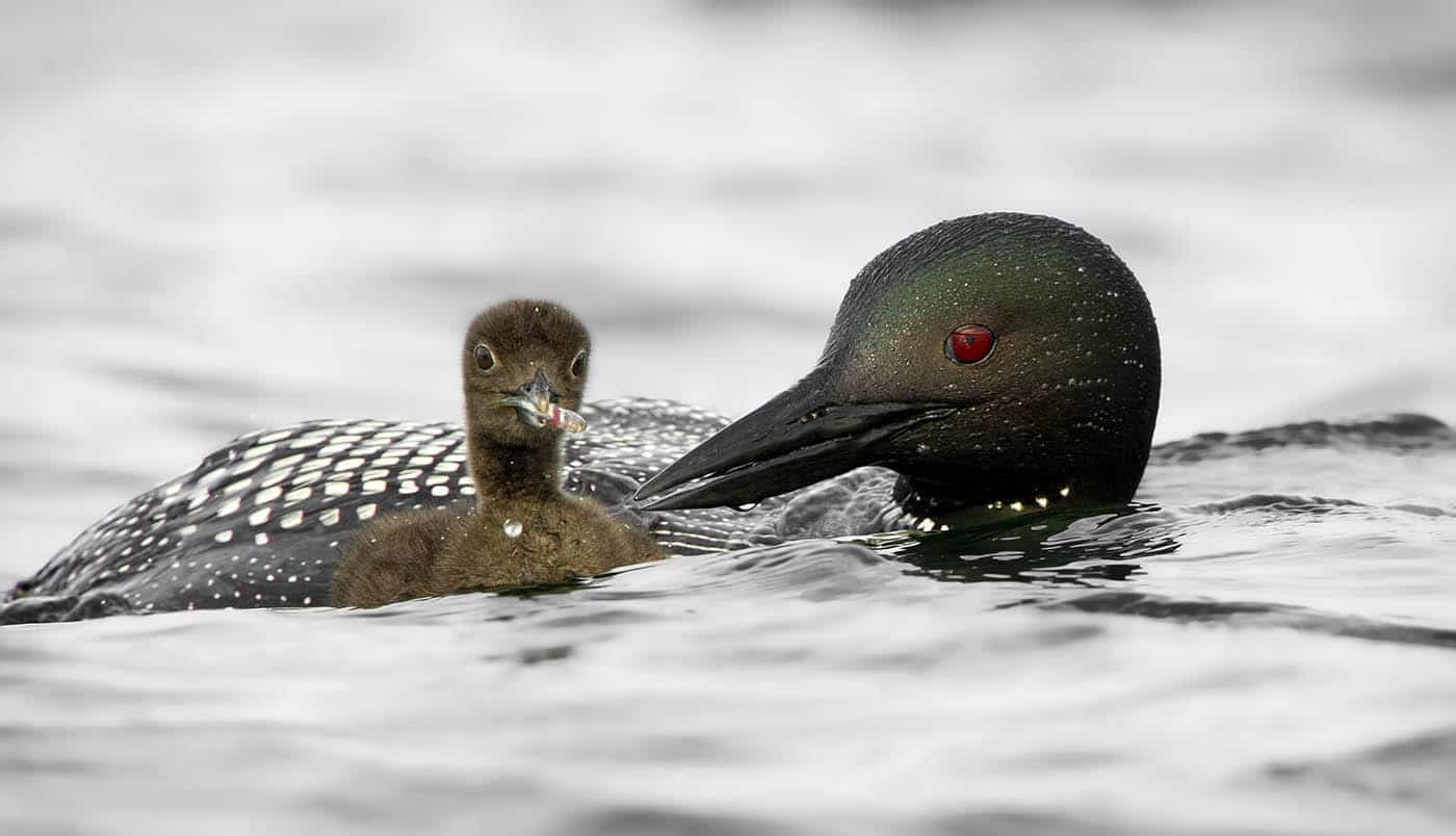 One Week Old Loon Chick With Minnow