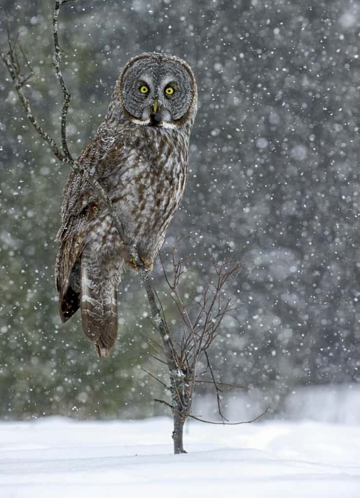 Great Grey In Snow