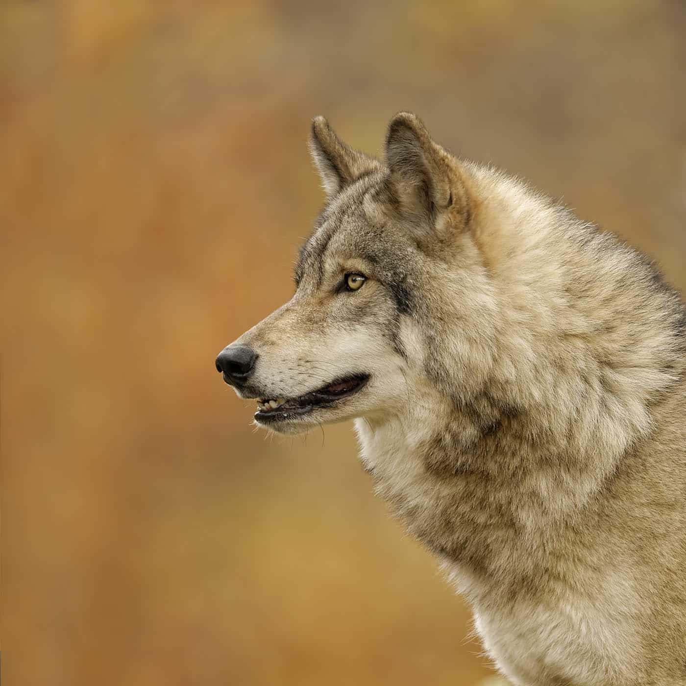Autumn Timber Wolf Portrait