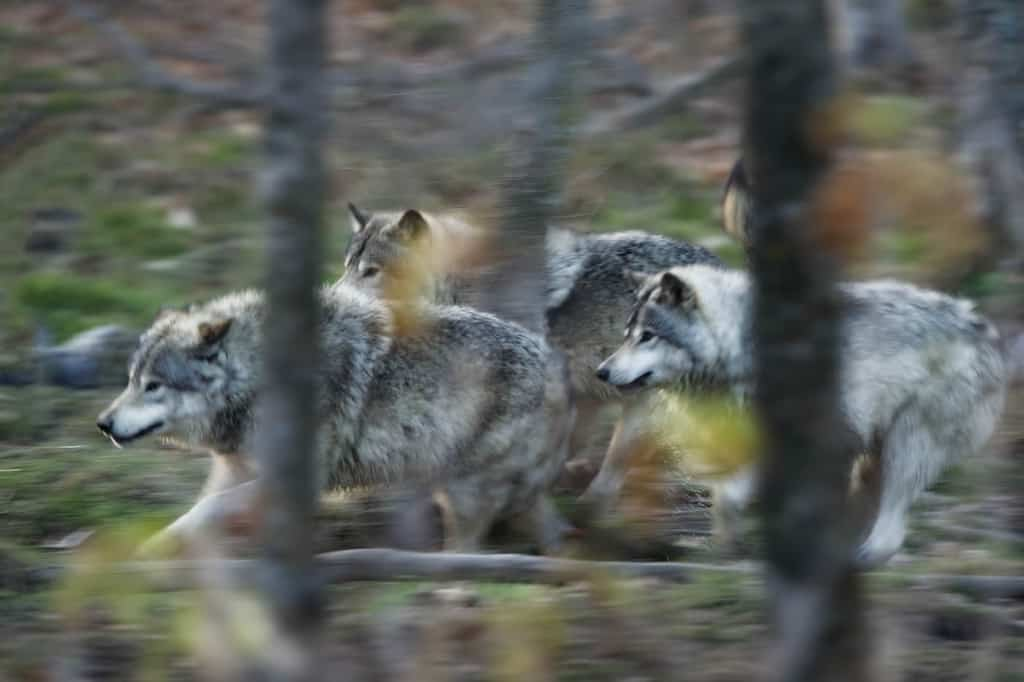 Timber Wolf Family Pack In Stride