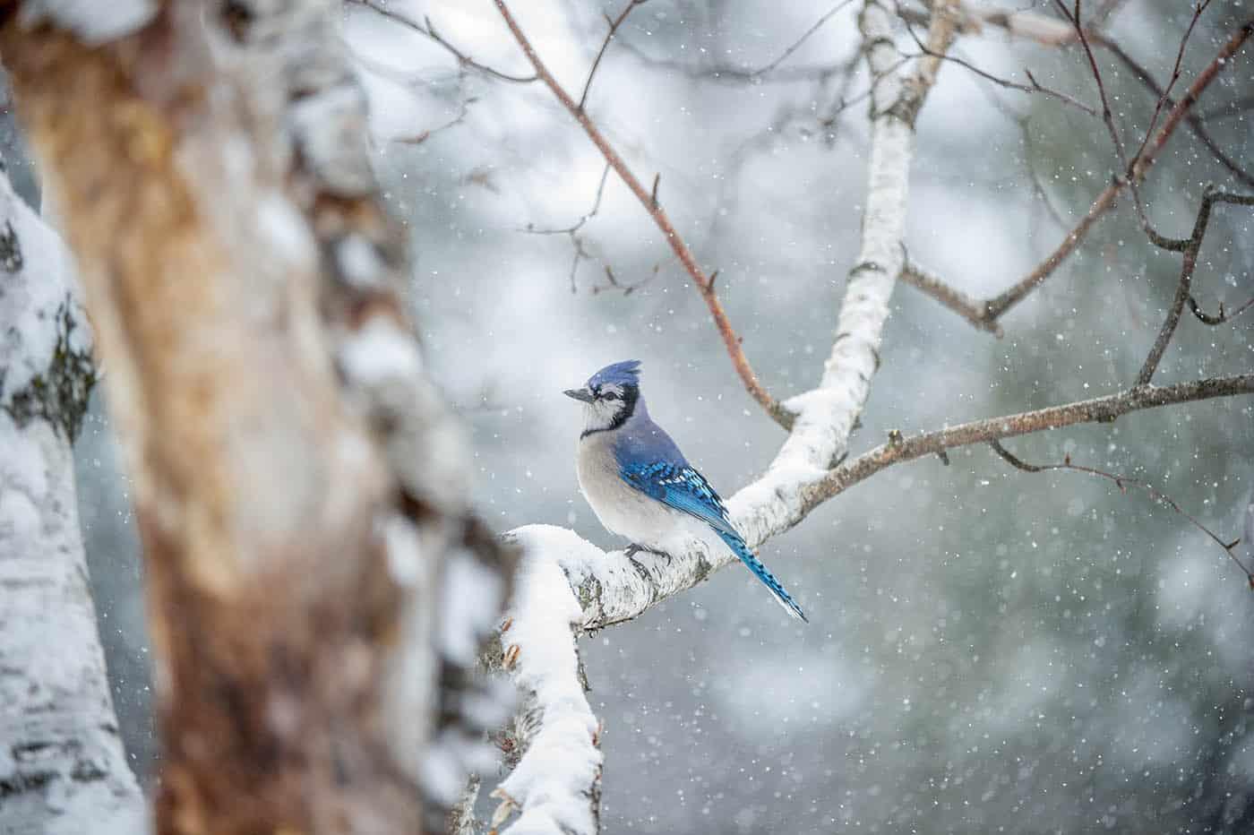 Snowy Jay - Bill Maynard