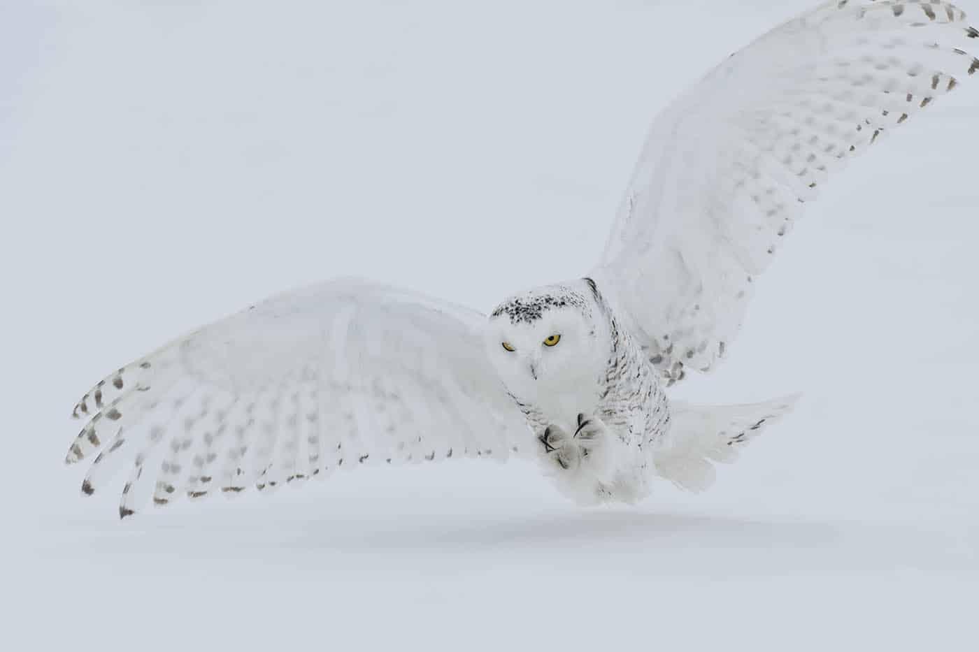 Snowy Owl Prey Drive