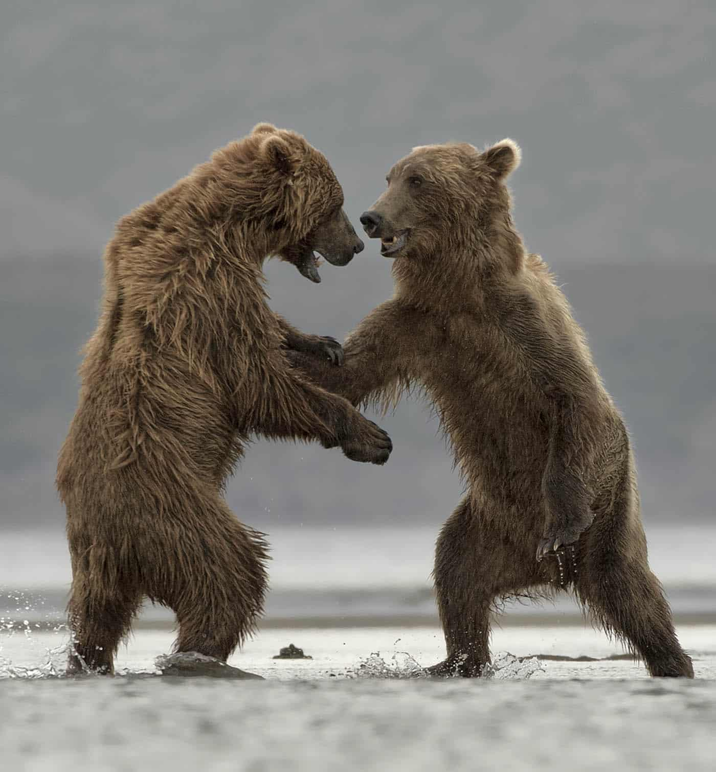 Sparring Male Brown Bears
