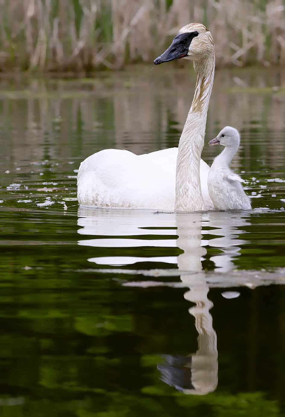 Trumpeter Swan Cygnet With Male