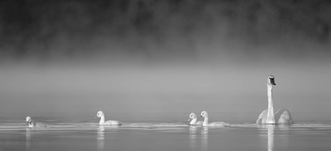 Trumpeter Cygnets In The Mist