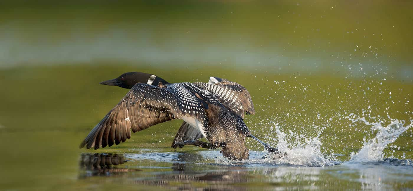 Common Loon at Takeoff
