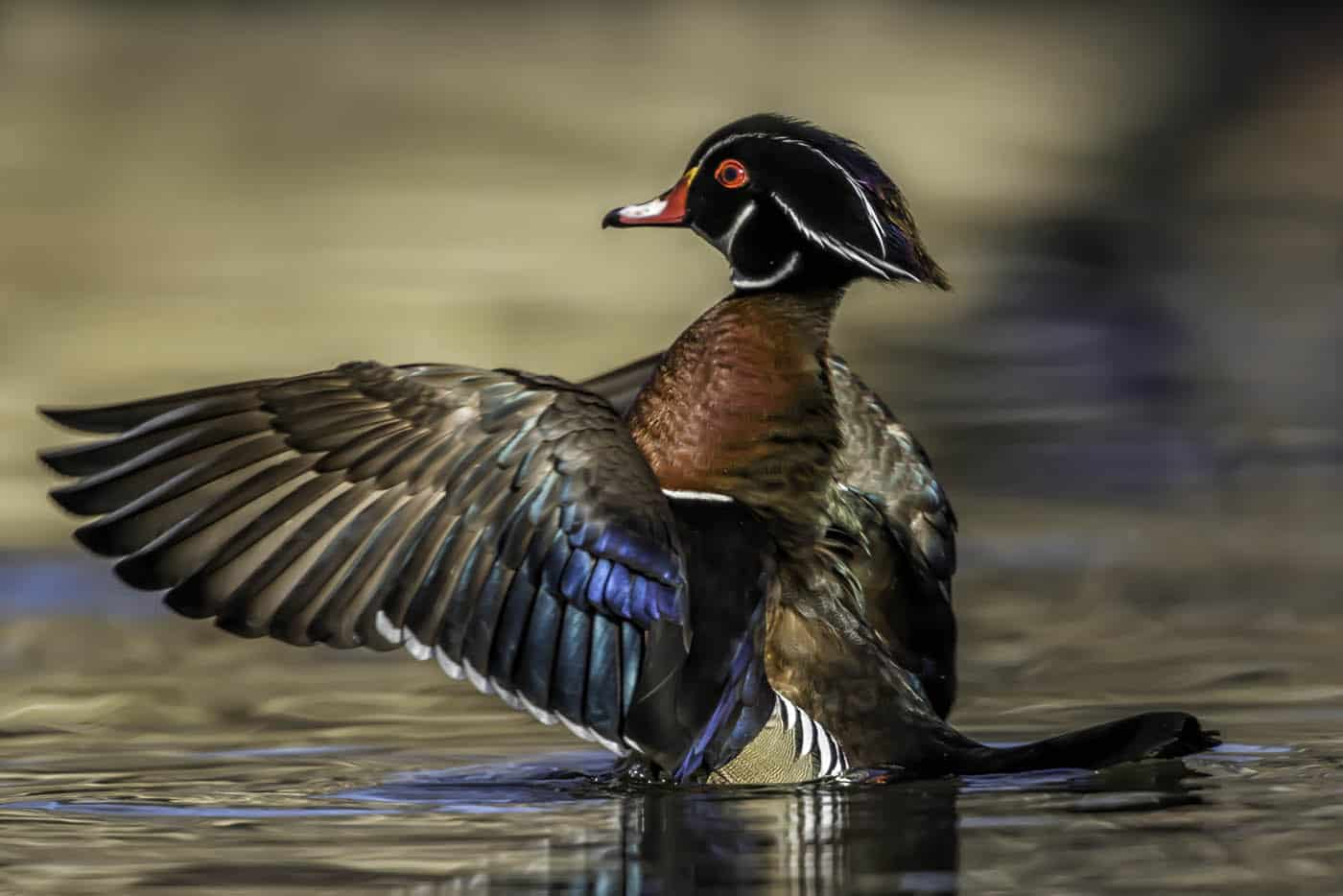 On The Wings of a Wood Duck