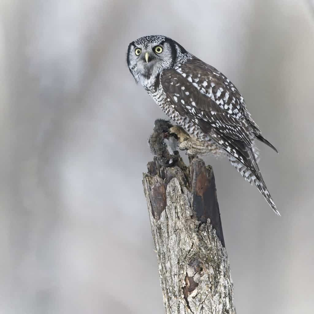 Hawk Owl Hunt
