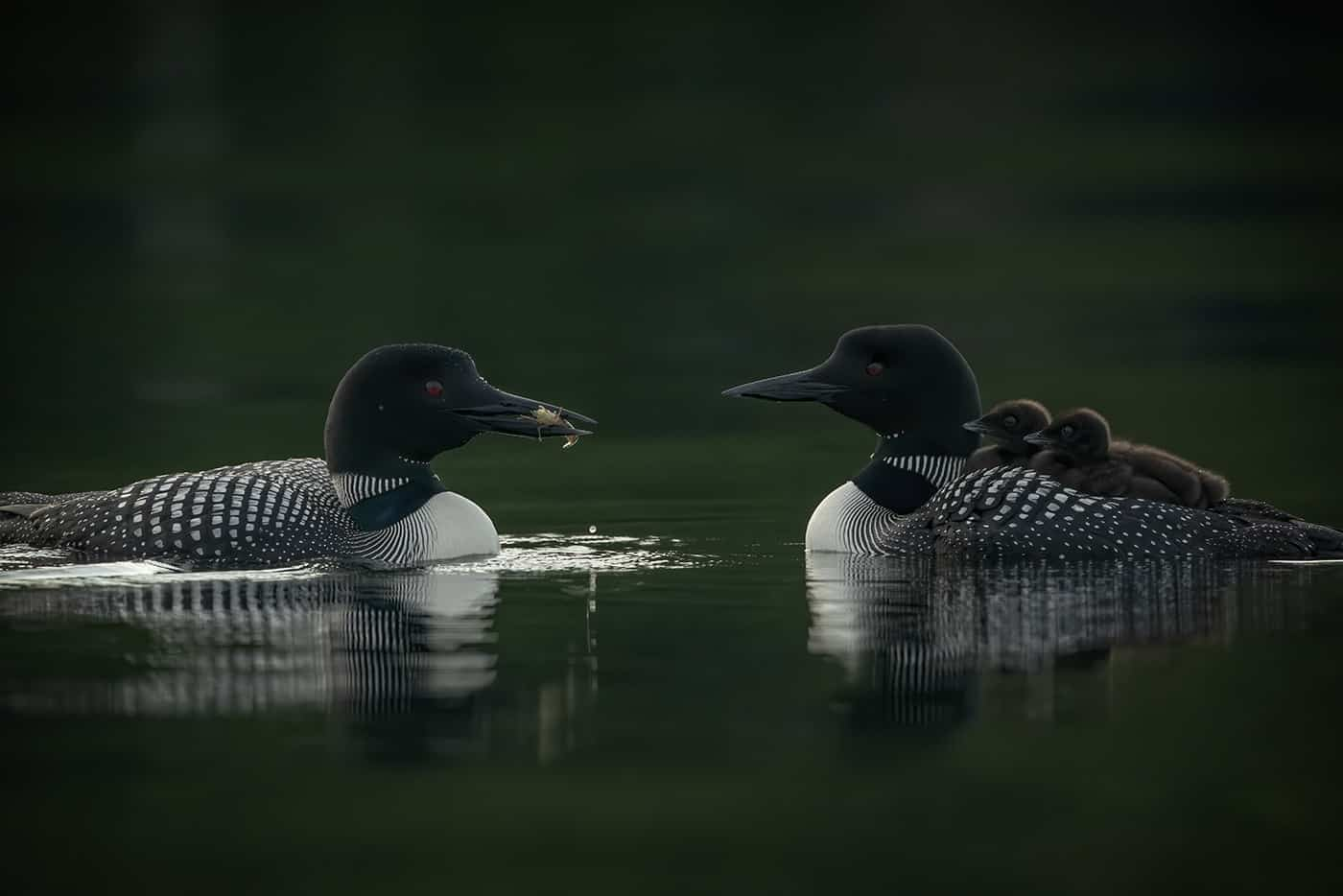 Loon Chicks On Board