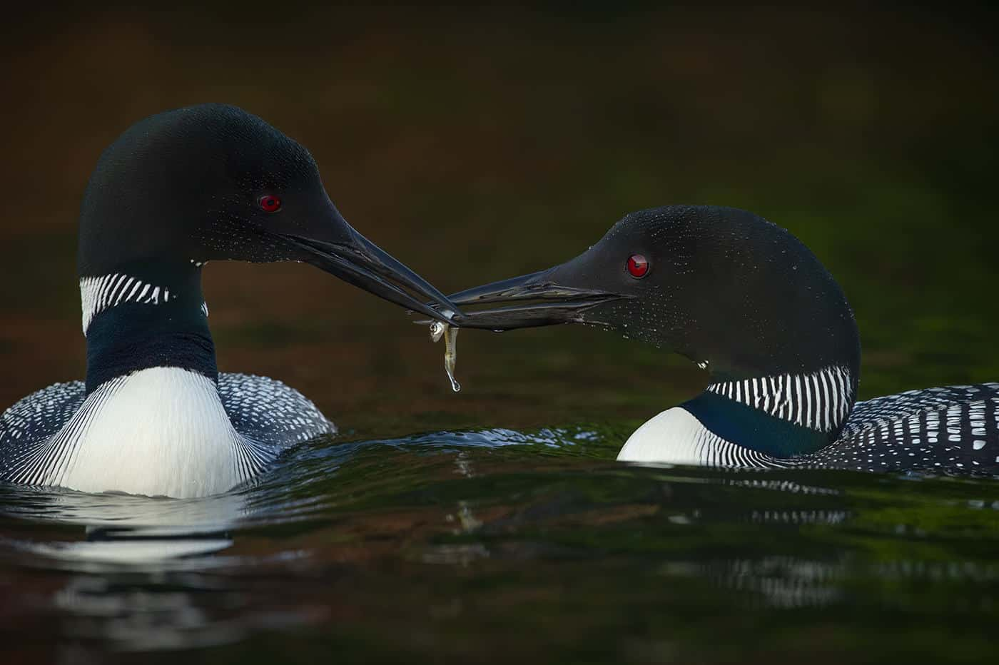 Loon Sharing Is Caring
