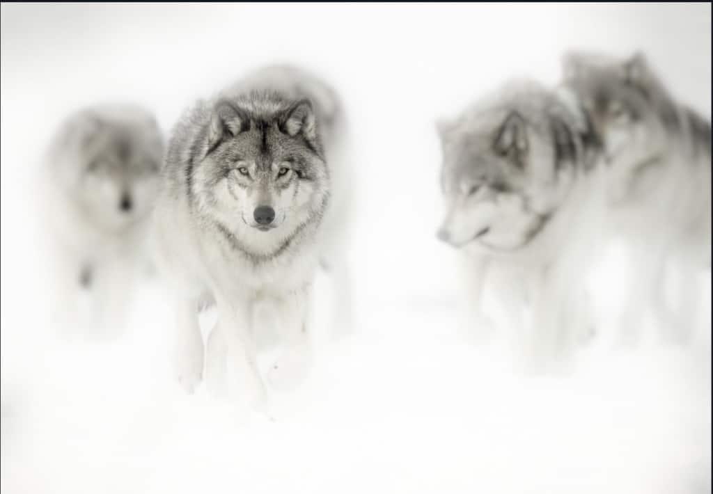 Topaz Studio 2 Wolf Bloom Sample