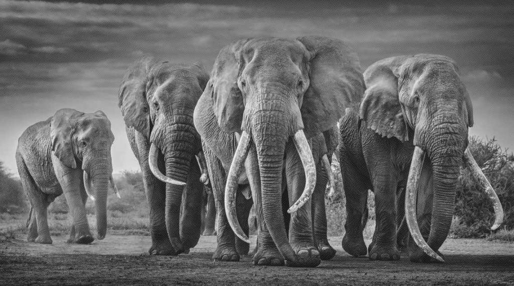 David Yarrow Big Tuskers