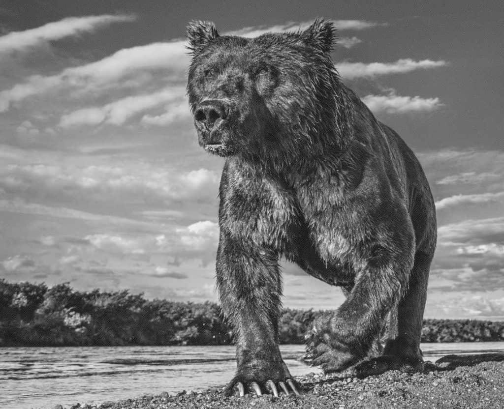 David Yarrow Grizzly Bear