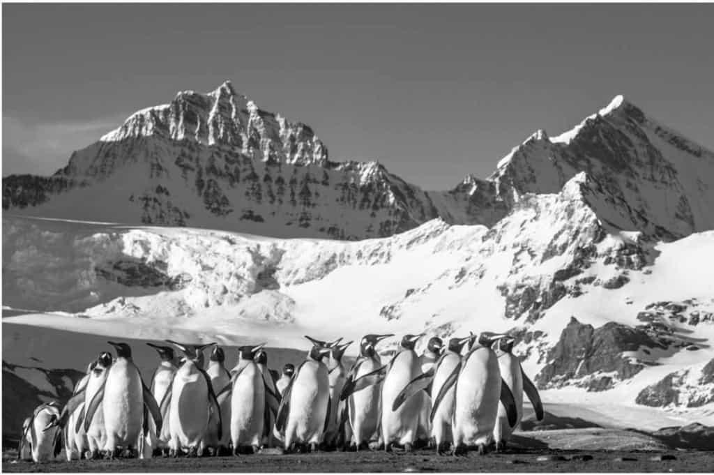 David Yarrow South Georgia Penguins