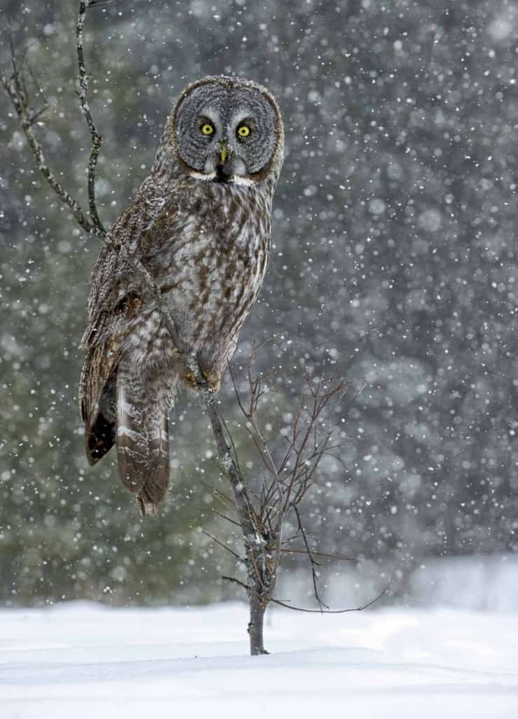 Great Grey Owl On Perch