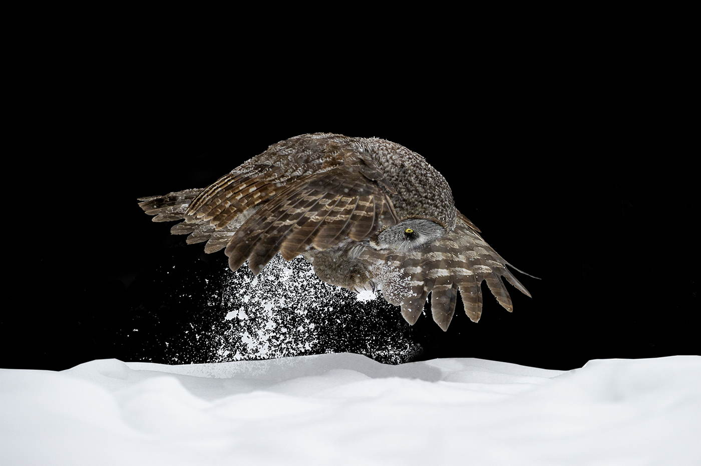 Great Grey Owl Pouncing Black Series